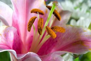Ugressmiddel som ikke vil drepe Liljer
