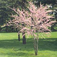 Hvordan å beskjære en Redbud treet