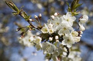 Cherry Tree Størrelser