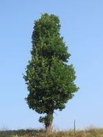 Rapid-Økende Evergreen Trees