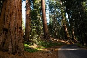 Hvordan Cut en Redwood