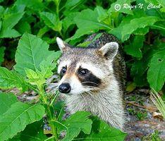 Hvordan lage Live-Raccoon Traps