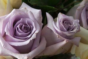 Enkelt burgunder rose
