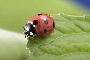 Hvordan Kill Beetle Bugs