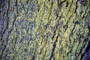 Hvordan å behandle Grønn Mold på Moden Maple Trees