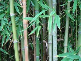 Bambus plante innendørs