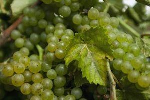 Har Druer vokser best i et kjølig klima?