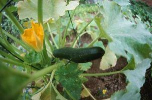 Slik fjerner Zucchini Fra Vine