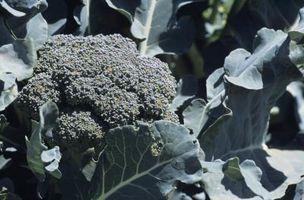 Best jord for dyrking av Brokkoli