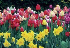 Hvor mange Tulip pærer er i One Hole?