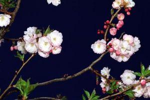Blomstrende trær: Asiatisk Red