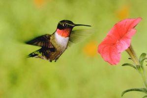 Utenfor Potte blomster som tiltrekker Hummingbirds Men frastøte larver