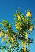 Trær som har Gule Hengende Blomster