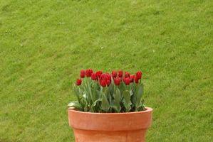 Kan du spare Potte tulipaner?