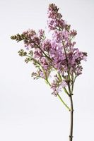 Slik Care for en japansk Lilac Tree