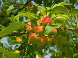 Hva slags Apple Trees Best Pollinate med hverandre?