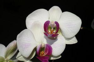 Hvordan Repot en Orchid Plant