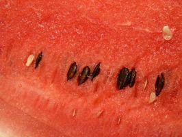 Hvor lang tid tar det for en vannmelon anlegg for å produsere?
