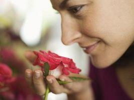 Hvorfor Roses Gi av duft som de avgir