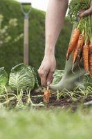 Hvordan Grow Gulrøtter Organisk