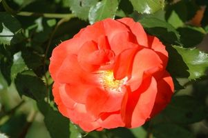 Busk Care for Knockout Roses