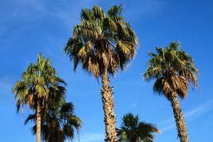Hvordan Gjødsle en Sabal Palm