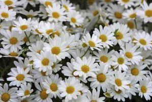 De pollinatorer av Daisy