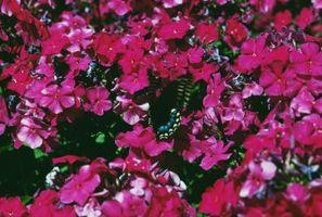 De beste forholdene for Fuchsia Planter