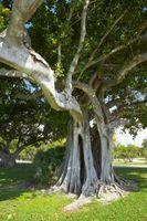 Habitat av Strangler Fig Tree