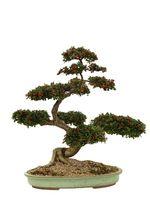 Hvordan ta vare på bonsai tre