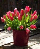 Hvordan å tvinge Tulip pærer Inside
