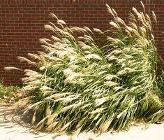 Hva høye planter kan plantes i nærheten av en Foundation?