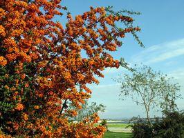 Cornelian Cherry Trees