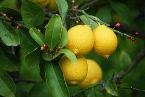 Hvordan Trim Lemon Tree Suckers