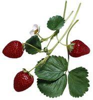 Hvordan kommer Jordbær Grow på busker?