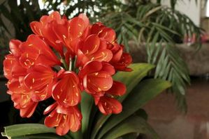 Clivia stell