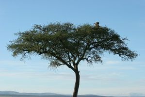 Hvordan å høste Acacia