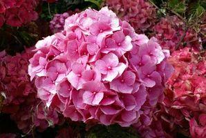 Mine Nye Hydrangea Blomster Turn Brown på forsommeren