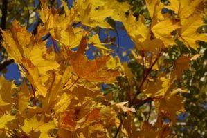 Skygge-Loving Maple Trees