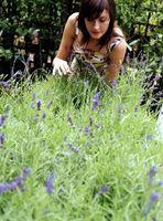 DIY: Stell av lavendel planter i vinter