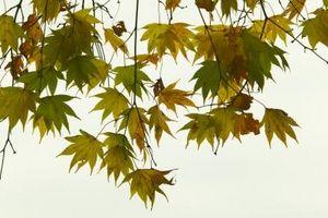 Fakta om Weeping japanske Maples