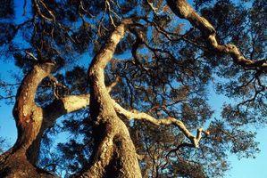 Om Oak Trees