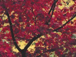 Den raskest voksende trær i høst