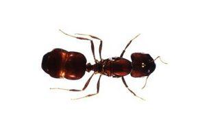 Den beste måten å drepe maur i et hus