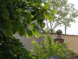 Hvordan Trim Weeping Mulberry Trees