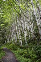 Hvordan Grow en Birch Tree Sapling