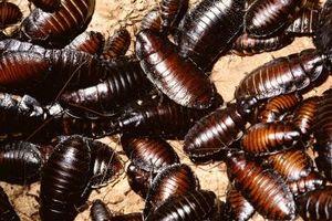 Hva kjemikalier brukes i Utryddelse av kakerlakker?