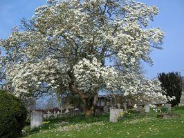 Om Magnolia Blomster