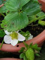 Hvordan Grow Jordbær i Strawberry Pots