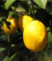 Hvordan ta vare på miniatyr Lemon Trees